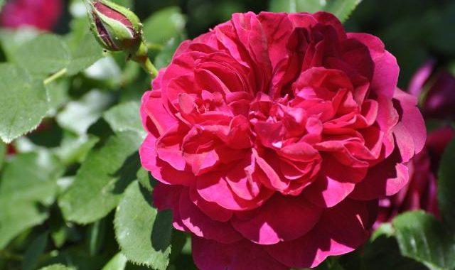 Rosen Keramikgarten